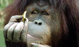 a.aaa-Monkey-eating-banana-fail-