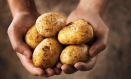 Hands holding dirty harvested potatoes