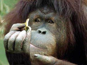 Обезьян в английских зоопарках лишают бананов